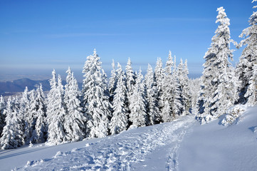 Snow-covered spruces in the mountains