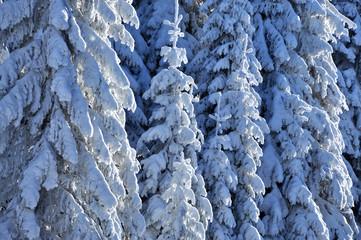 Snow covered fir