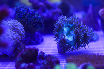 corals under blue light
