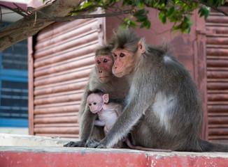 Famille de macaques