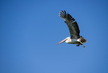 Flying Pelican against a clear blue sky
