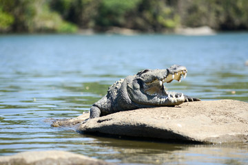 Mugger Crocodile on the River Cauvery in India