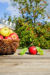 Apfelernte, Äpfel im Korb auf Holztisch vor Obstbäumen