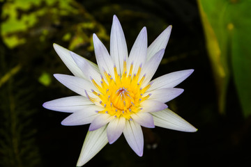 Beautiful white lotus flower in the pond