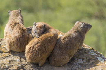 Group of rock hyraxes