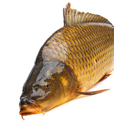 a carp on a white background
