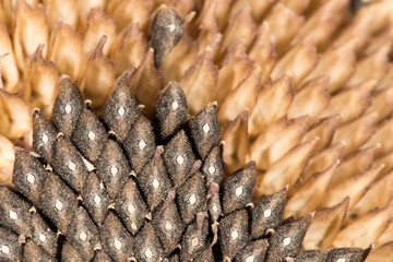 seeds in a sunflower. close-up