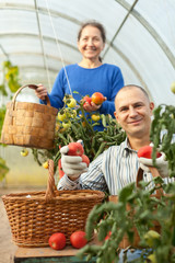 Man and woman picking tomatoes
