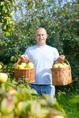 Happy man gathers apples