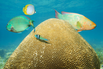 Brain coral underwater with colorful fish