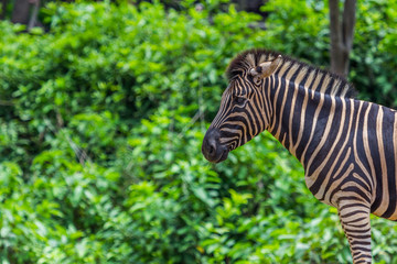 Zebra portrait face and head