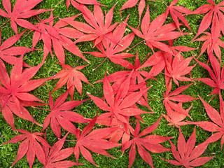 roter Zierahorn auf dem Boden