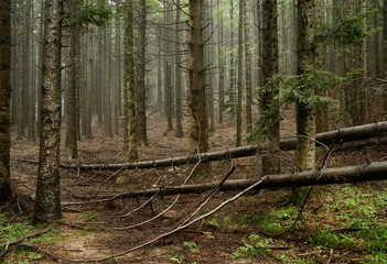 Fallen trees in the pine forest