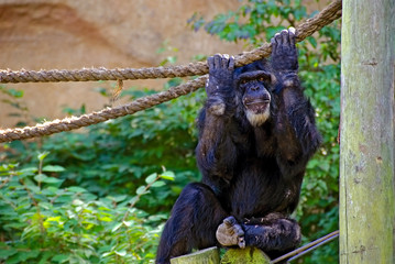 chimpanzee with rope