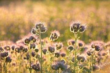 Flowering herbs in the field at dawn