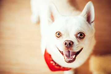 Funny chihuahua