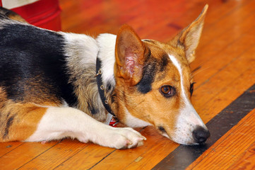 Sad Welsh corgi Pembroke lying on the floor