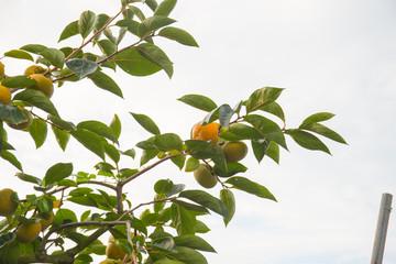 うきはの里 たわわの柿