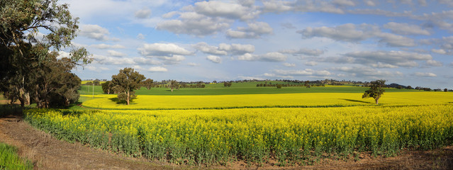 Canola Plantation crop
