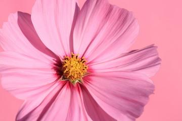 pink garden cosmos - Ton in Ton