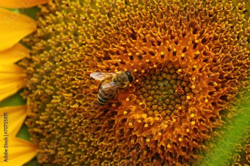 canvas print picture Biene auf Sonnenblume