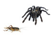 black curly-hair tarantula Brachypelma albopilosum isolated - 70756054