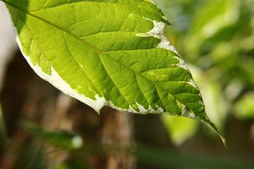 Blätterwerk