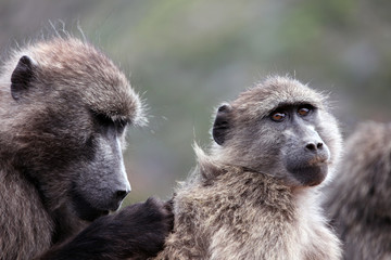 Baboons catch insects in wool. Cape Town.