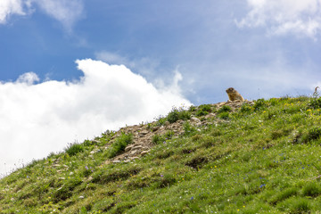 Marmotta alpina di montagna