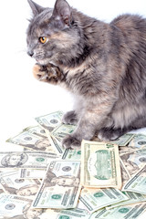 Fluffy cat with yellow eyes over dollars.  Striped not purebred