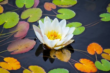 Water lily among leafs on the water