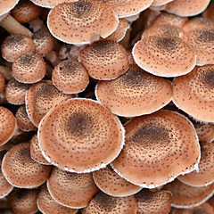 Tops of the Dark Honingzwam or armillaria ostoyae mushroom.
