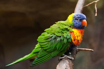 Papageienart Lori