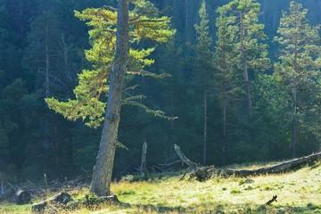 Pine in morning
