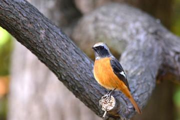 野鳥 ジョウビタキ