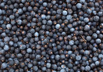 Common juniper berries Juniperus communis