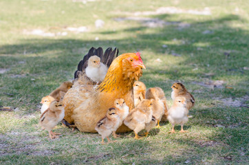 Hen with chicks on green grass