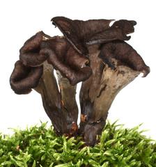 Horn of plenty mushrooms Craterellus cornucopioides