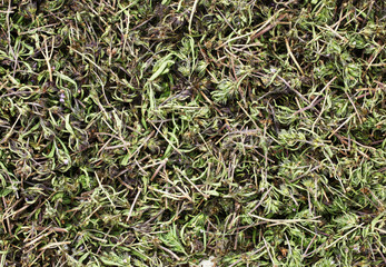 Summer savory herb is drying