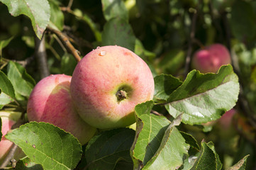 Fresh apples in garden on tree