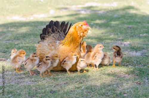 Foto op Canvas Kip Hen with chicks on green grass