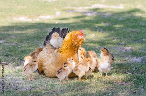Fotobehang Kip Hen with chicks on green grass