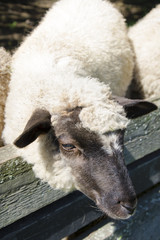 The sheep in pens at the farm