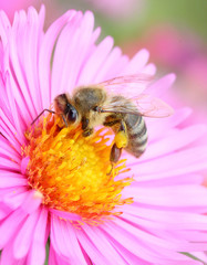 The European honey beepollinating of The Aster.