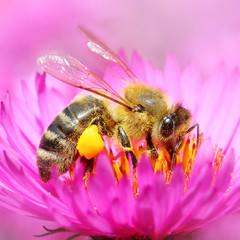 The European honey bee pollinating of The Aster.