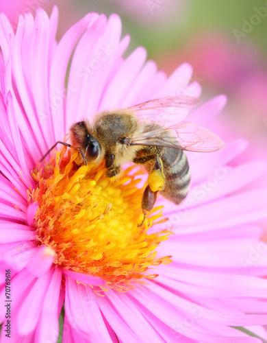 Papiers peints Bee The European honey beepollinating of The Aster.