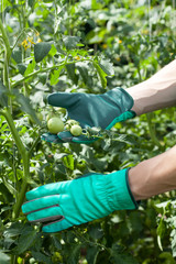 Tomatoes in plant nursery