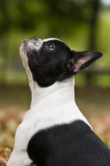 Portrait Welpe Französische Bulldogge