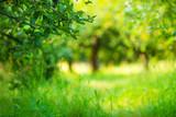 Apple garden green sunny background. Summer and autumn season