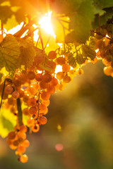 Ripe grapes on a vine with bright sun shining through